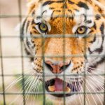 From 2000 to 2018, an estimated 2,359 tigers were killed and illegally trafficked worldwide, according to a new analysis.