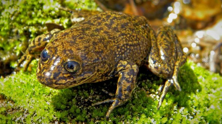 The Loa water frogs, 14 in total and what may very well be the last remaining of the species, were relocated to the National Zoo of Chile.