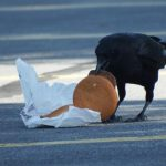 Junk food raises crow cholesterol, too. Crows living in urban environments with access to discarded human food have higher blood cholesterol levels than their rural cousins.