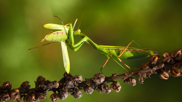 Among humans, the cannibalism taboo is strong. But for many species, like praying mantises, there is no taboo.