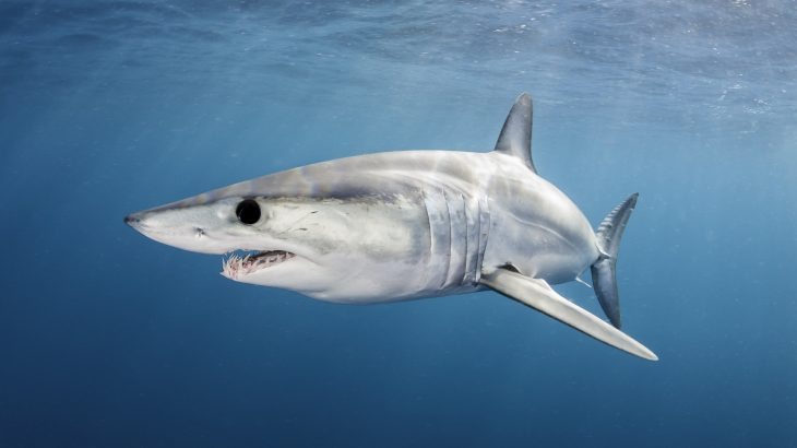 A record number of countries signed on to protections for mako sharks under CITES, but the United States was not one of them.