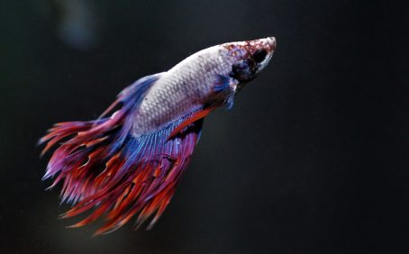 What are Betta fish?