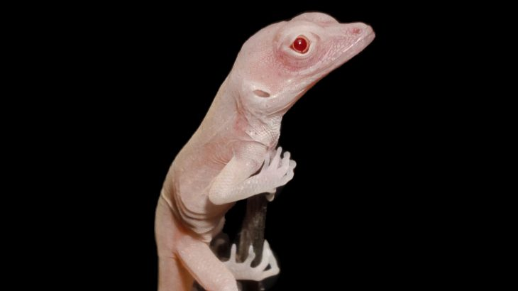 Small albino lizards have successfully become the first reptiles that were gene-edited with CRISPR-Cas9 technology.