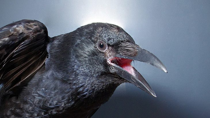 A new study has revealed that crows have control over the onset and release of their vocalizations.