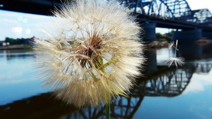 foraging, dandelion