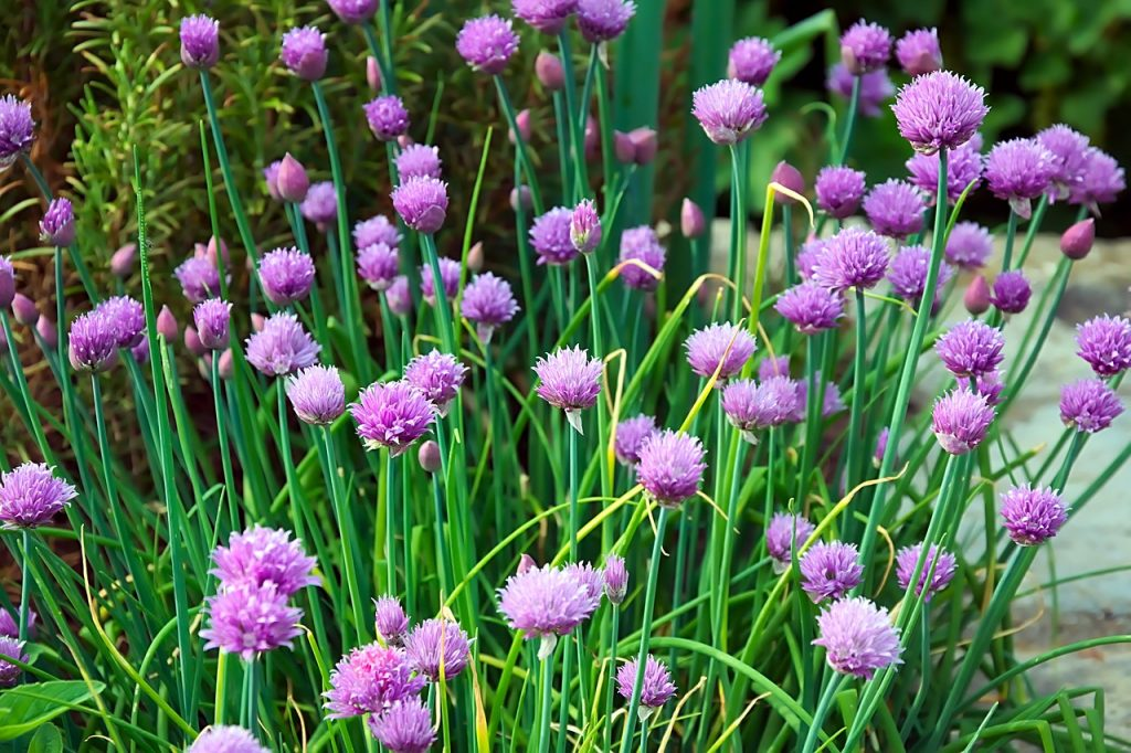 foraging, chives