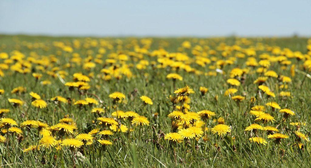 foraging, dandelion field