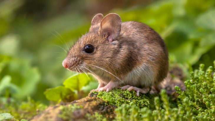 These fossils are the first physical evidence that the first dispersal of mice from Asia to Africa took place via the Levant.