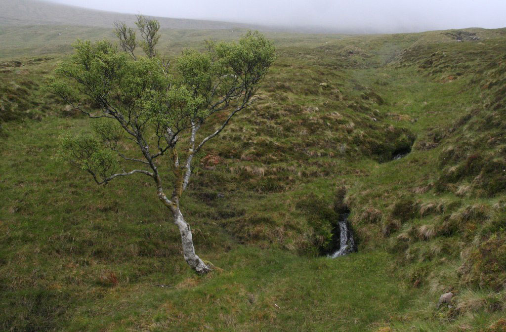 iceland trees downy birch betula pubescens