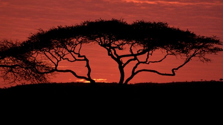 acacia tree, savanna