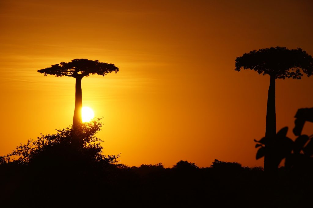 cool savanna baobab tree