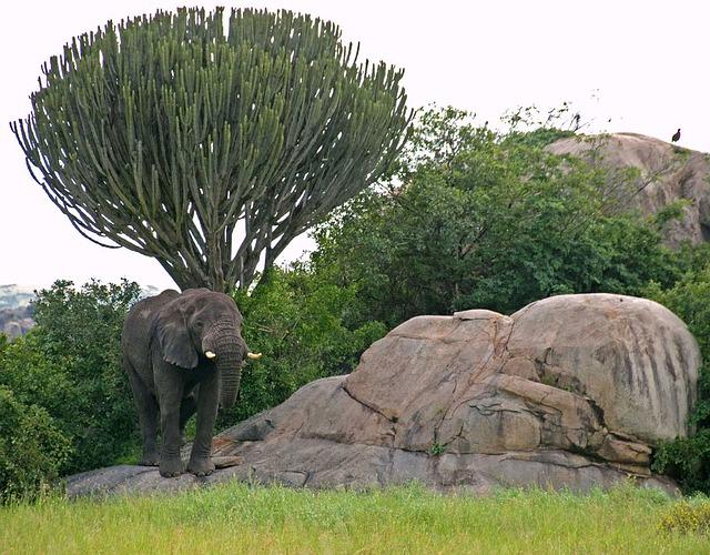 cool savanna Candelabra Tree