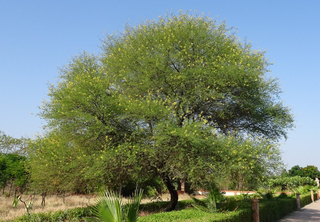 cool savanna gum arabic tree