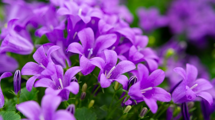 The American bellflower is helping biologists understand how plants and animals adapt to new environments due to climate change.