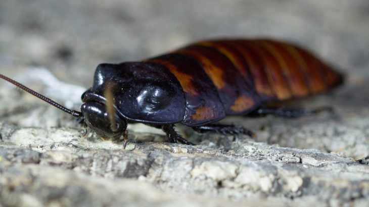 The enormous hissing cockroach is frequently used as an onscreen substitute for the more-skittery American and German species that infest our homes.