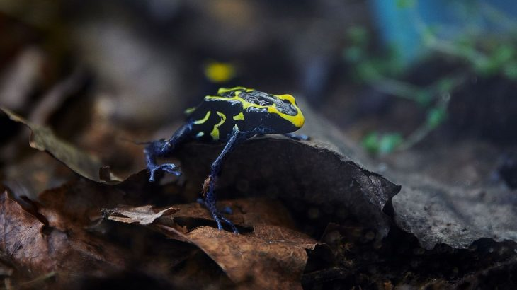 In French Guiana, Dyeing poison frogs ward off predators with their bold yellow stripes.
