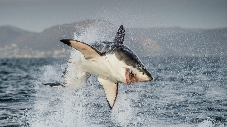 Great white sharks have yet to make an appearance this year in their usual hunting grounds off the coast of Cape Town, South Africa.