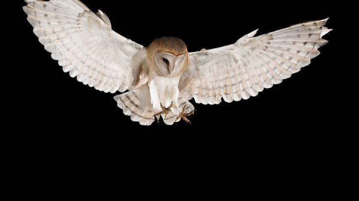 Under full-moon conditions, the white plumage causes the barn owl's preferred prey to freeze in place for longer.