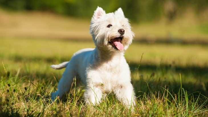 According to a new study from the Royal Veterinary College (RVC), fewer people are adopting West Highland White Terriers across the UK.