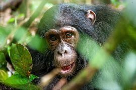 Scientists at the University of Oxford have just developed new artificial intelligence software that can recognize and track the faces of chimpanzees in the wild.