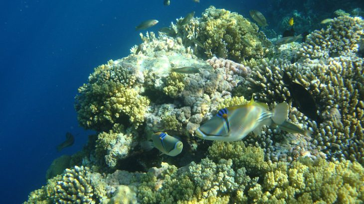 Reef-building corals in the Red Sea may be at risk of extinction due to the way that spawning events have changed over time, according to a new study.