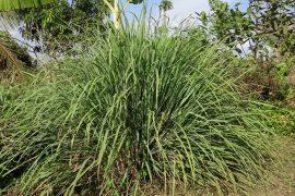 cymbopogon lemon grass mosquito plant