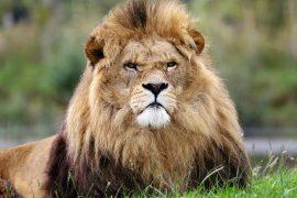 grumpy endangered lion