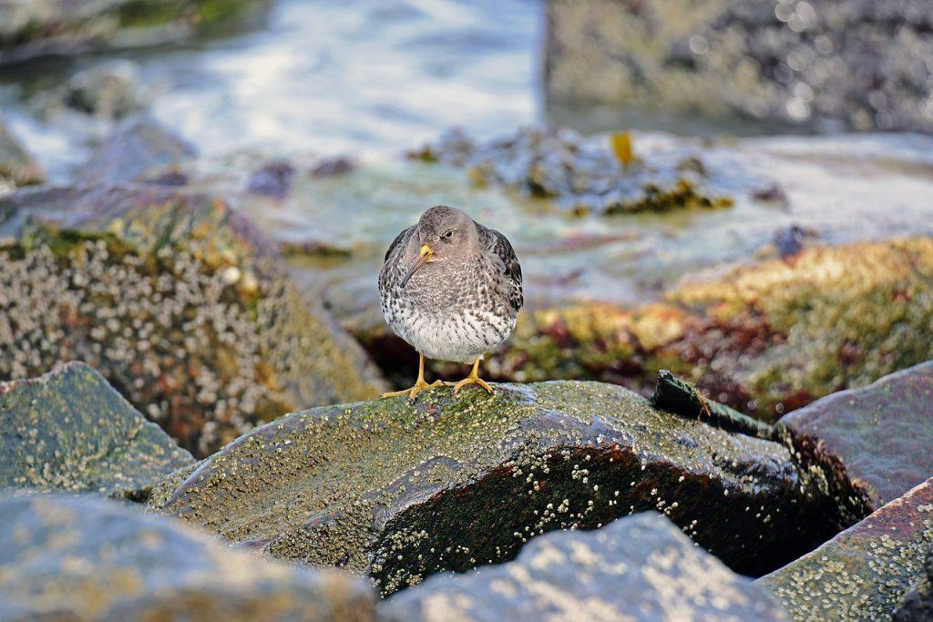 kiwi bird endangered