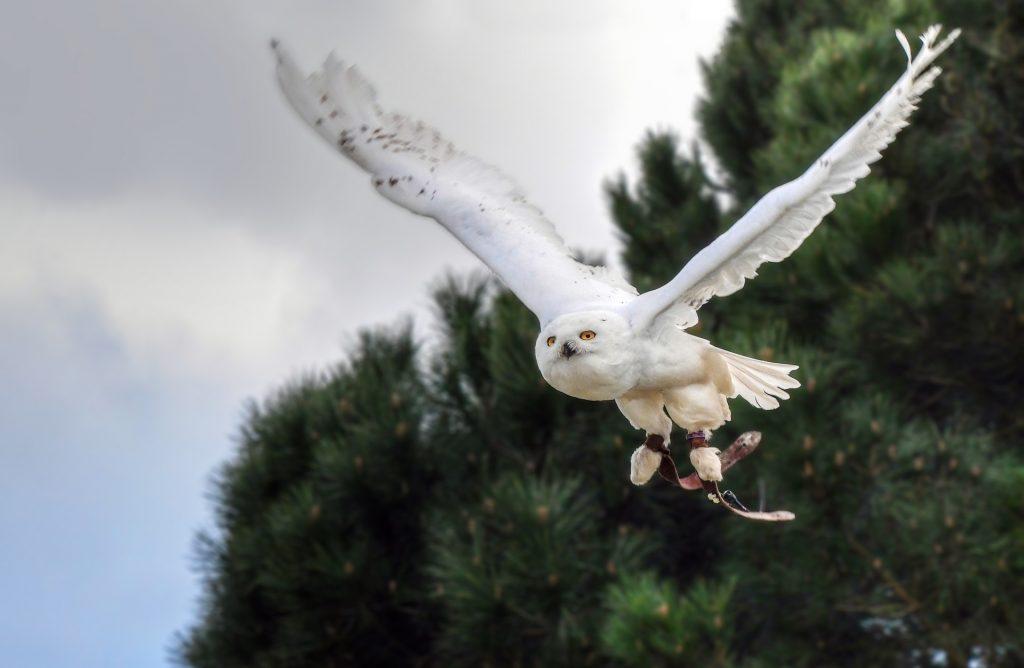 snowy owl endangered