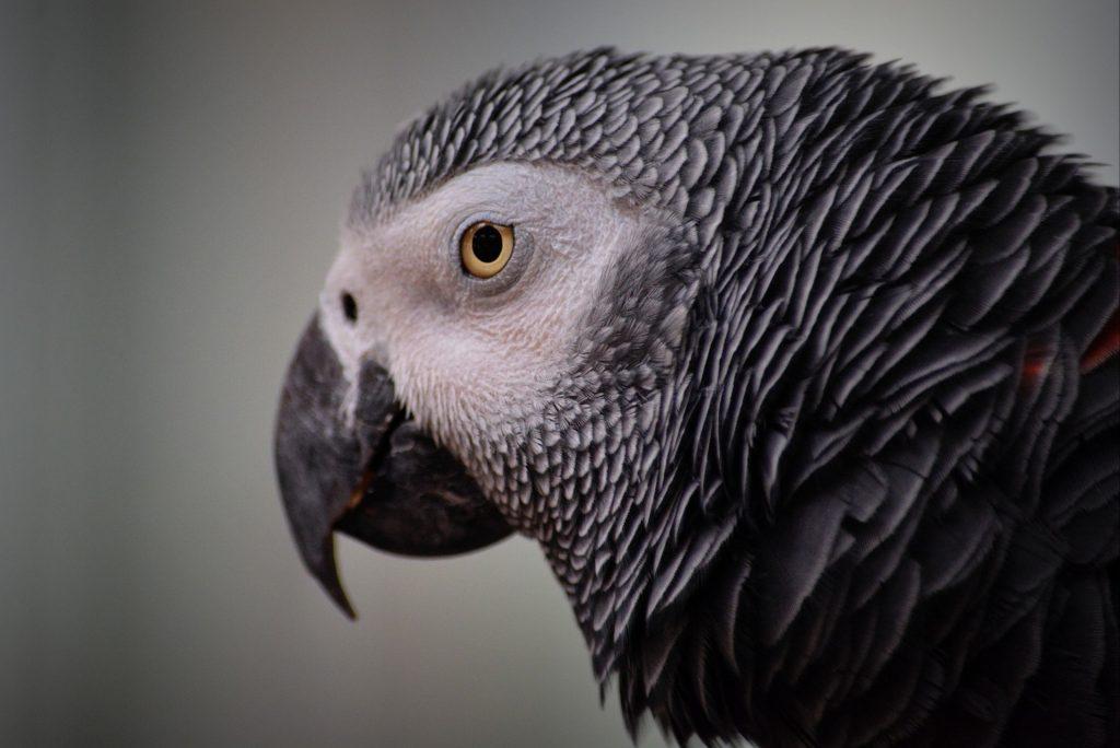 african grey parrot endangered