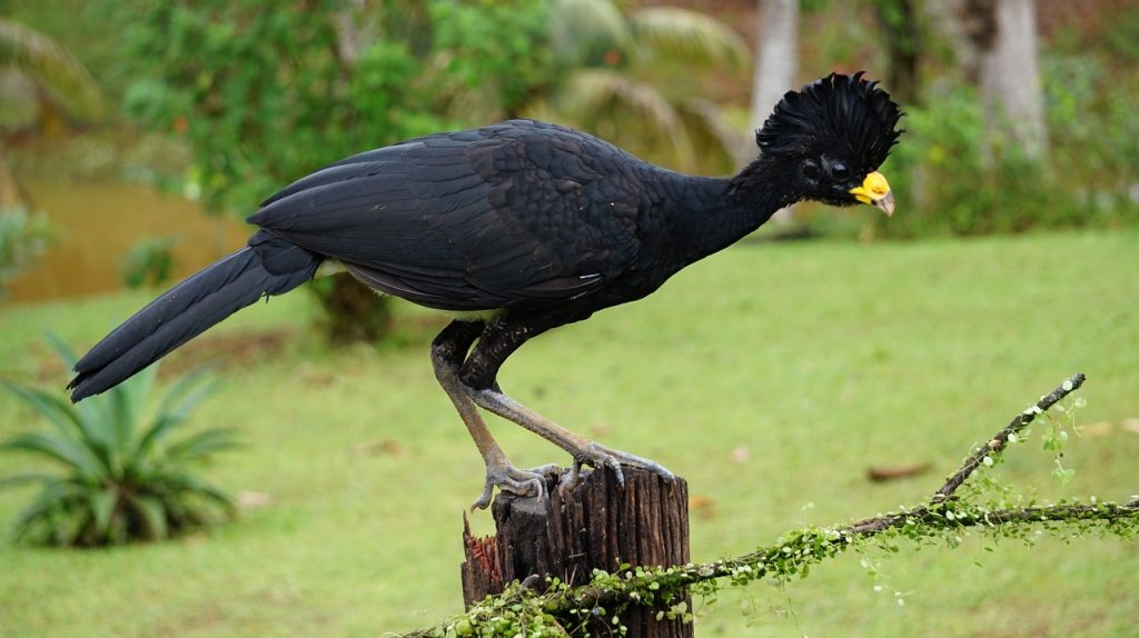 great-curassow