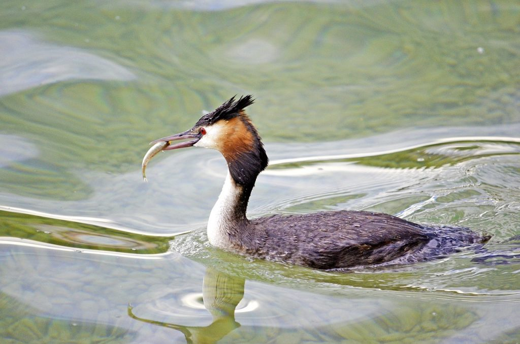 endangered hooded grebe bird