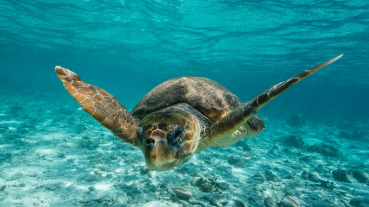 A new study has revealed that climate change could provide some loggerhead turtles with optimal conditions for reproductive success.