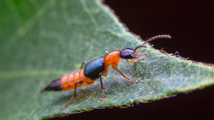 The oldest known rove beetle isn't actually a member of the rove family at all, which means that the entire beetle family tree may need to be rewritten.