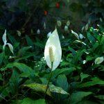many peace lilies