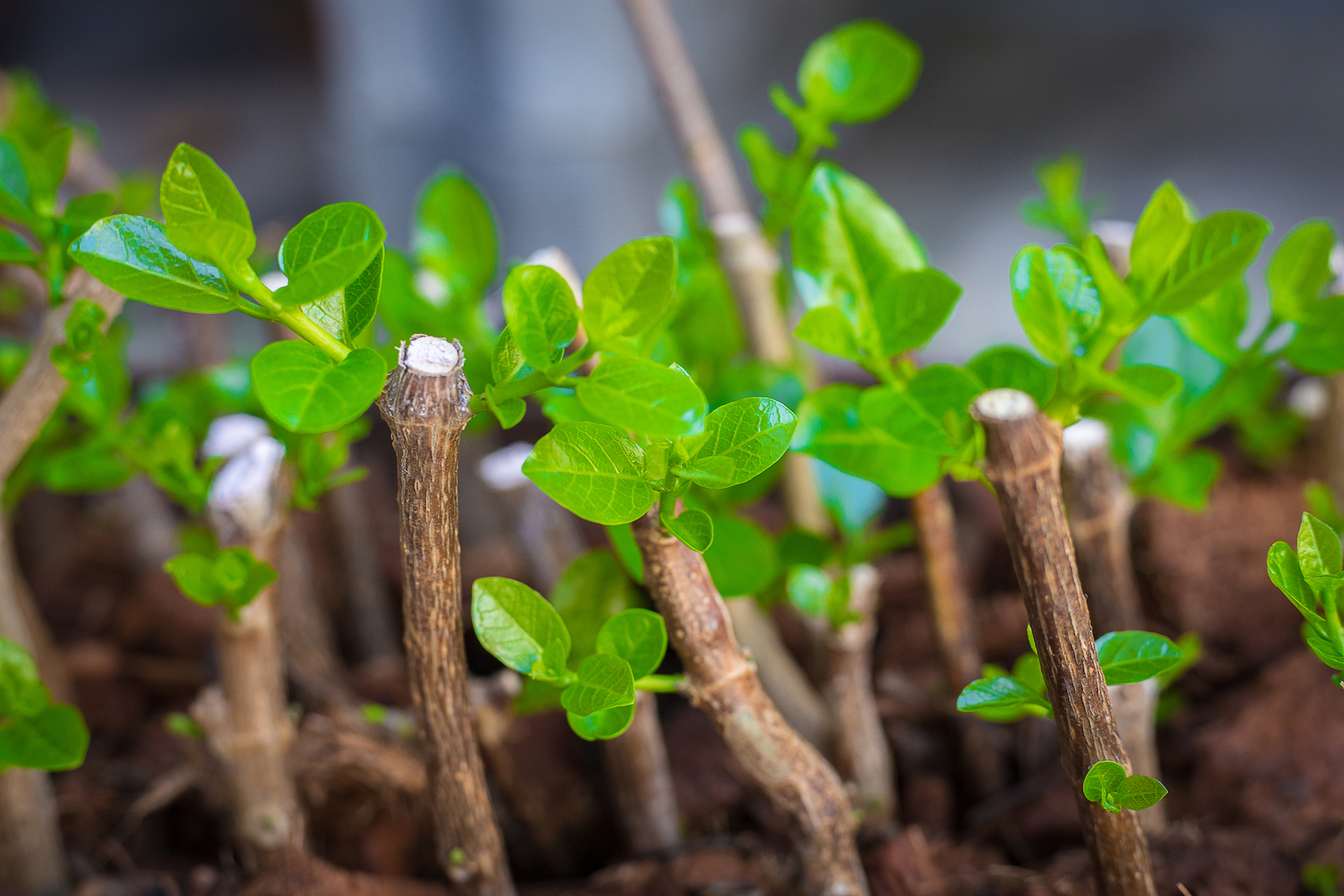 How To Propagate Plants From Cuttings Earth Com