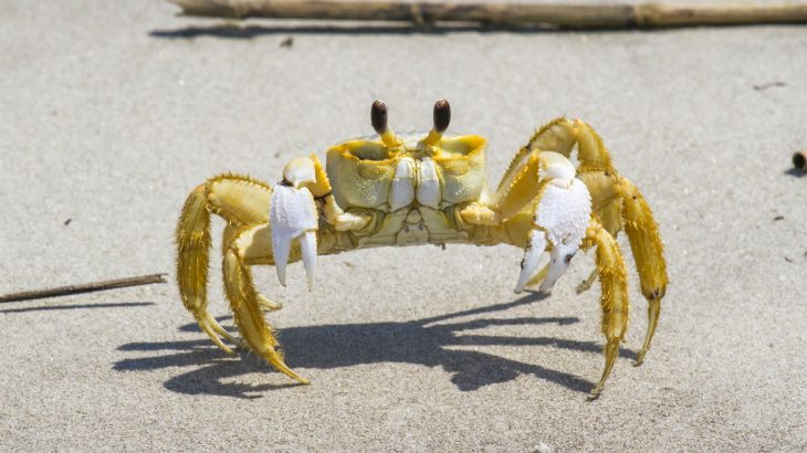 Researchers at the Scripps Institution of Oceanography have discovered that Atlantic ghost crabs can make angry growling sounds in their stomachs when they feel threatened.
