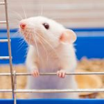 A new study has found that rats can learn to play hide and seek with humans and excel at the game.