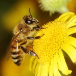 Honey bees can remember both good and bad experiences and store them in different areas of the brain, similar to the way humans and other vertebrates do.
