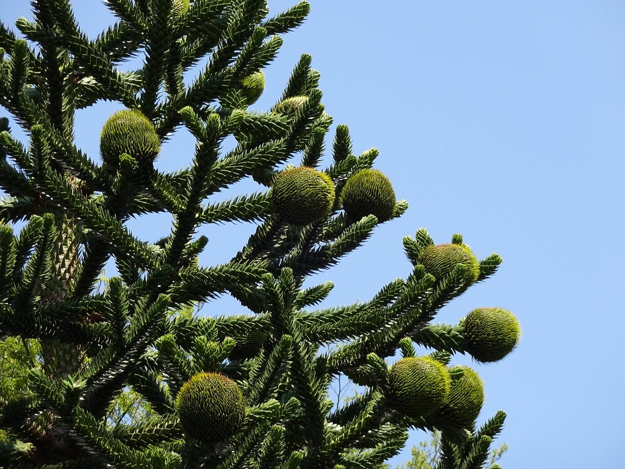 chilean pinecones