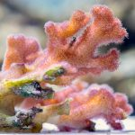 Researchers discovered for the first time that coral parents pass along upgraded algae symbionts to their offspring.