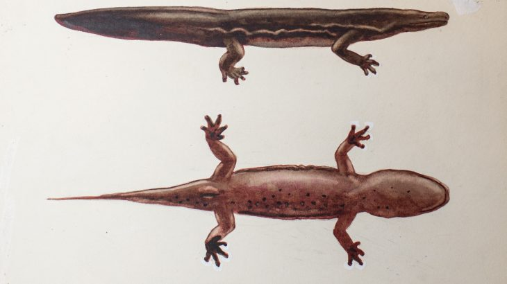 Two new species of giant salamander have been identified thanks to a recent analysis of early 20th-century museum specimens.