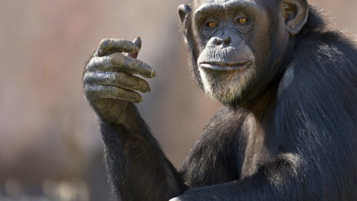 A team of scientists has been investigating the various gestures used for communication among chimpanzees and bonobos.