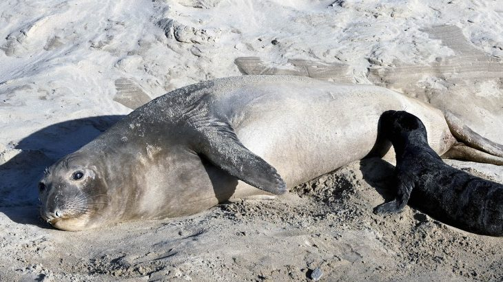 "Most of the elephant seal pups born in a California colony were produced by a small number of elephant seal ""supermoms."""