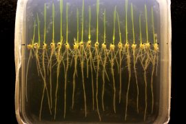 Rice is the only major food crop that can survive flooding, but a new genetic study from UC Riverside may ultimately lead to the creation of additional flood-resistant crops.