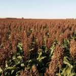 Researchers have identified a single gene in sorghum that controls bird feeding behavior by regulating the production of bad-tasting and appealing substances.