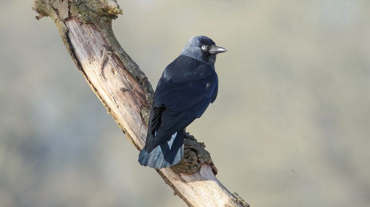 """Researchers at the University of Exeter have discovered that a group of crows known as jackdaws send out warning calls when they identify """"dangerous"""" humans."""