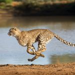 Cheetah trafficking in the Horn of Africa is leading to the potential extinction of the world's fastest land animal.