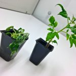 Soil transplants could be the key to building up disease resistance in vegetable crops, new research suggests.