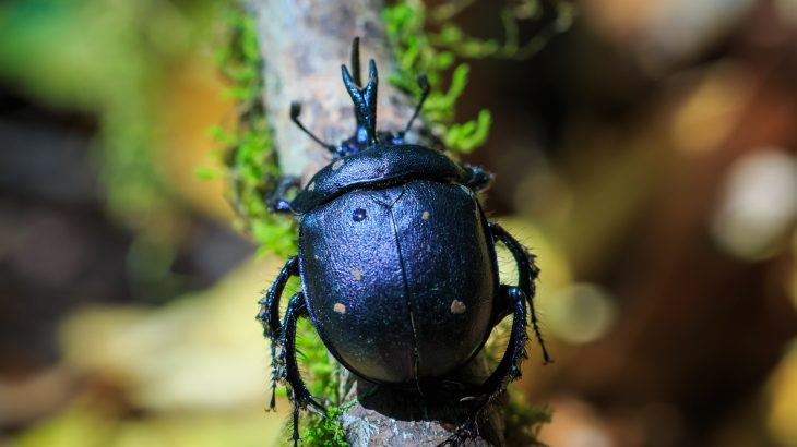 Researchers have discovered that dung beetles are being poisoned by pesticides and veterinary pharmaceuticals that are passed into the manure that they feed on.